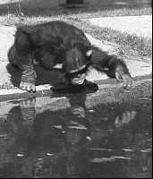 Schimpanse spielt mit seinem Spiegelbild